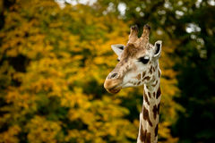 Cute giraffes in zoo Stock Photos