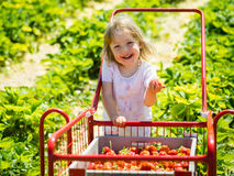 Cute girl child holding strawberry as she walks with the trolley Royalty Free Stock Image