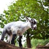 Cute goat Royalty Free Stock Photo