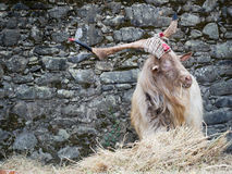 Cute goat eating, great horns Royalty Free Stock Photography