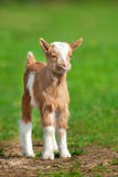 Cute goat on grass Royalty Free Stock Photos