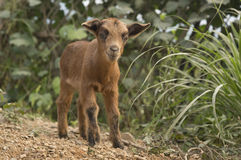 Cute goat kid. A baby mountain goat smiles for the camera Stock Photography