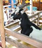 Cute goat kid  in farm at Bangnamphung Floating Market Royalty Free Stock Photos