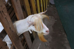 Cute goat kid  in farm at Bangnamphung Floating Market Royalty Free Stock Images