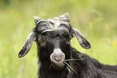 Cute goat kid grazing grass Royalty Free Stock Photo