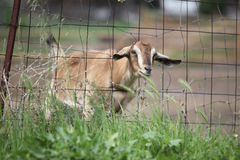Cute goat is looking for food. Stock Photography