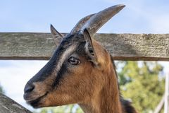 Cute goat portrait royalty free stock photo