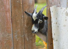 Cute goat Stock Photos