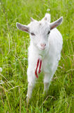 Cute goatling Royalty Free Stock Photo