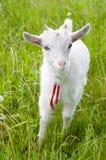 Cute goatling Royalty Free Stock Photo