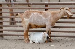 Cute goatling  with his mother. Are resting in the farm royalty free stock images