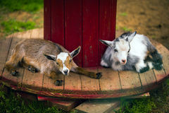 Cute goatlings at farm. Cute small goatlings at farm Stock Photos