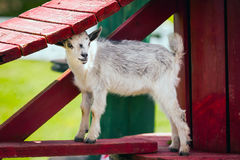Cute goatlings at farm. White Cute goatlings at farm Stock Images