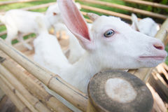 Cute Goats. In bamboo cage royalty free stock images