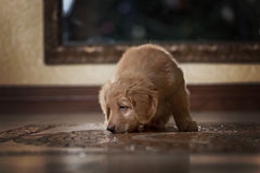 Cute gold hovawart puppy Stock Images