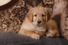 Cute gold hovawart puppy Stock Photo