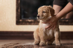 Cute gold hovawart puppy. Portrait in home stock image