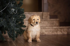Cute gold hovawart puppy. Portrait in home royalty free stock photos