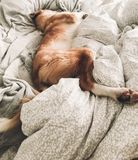 Cute golden dog sleeping on owners bed. Funny dog resting on white sheets, cozy adorable moment. Phone photo royalty free stock photo