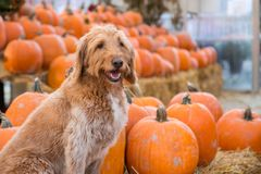 Cute golden labradoodle dog sitting in front of a bunch of pumpkins on a farm. stock photo