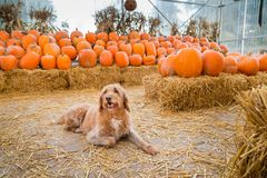 Cute golden labradoodle dog sitting in front of a bunch of pumpkins on a farm. stock photos