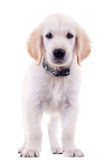 Cute golden labrador Royalty Free Stock Images