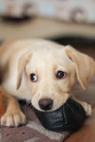 A cute golden labrador puppy Royalty Free Stock Images