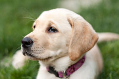 Cute Golden Labrador Puppy in the Grass Stock Image