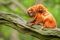 Cute golden lion tamarin with baby Stock Photos
