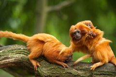 Cute golden lion tamarins with baby. (Leontopithecus rosalia royalty free stock photo