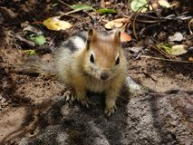 Cute Golden-mantled Ground Squirrel Royalty Free Stock Photography