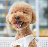 Cute golden poodle puppy