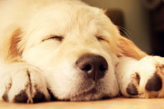 Cute golden retrieve. Royalty Free Stock Image