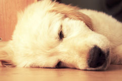 Cute golden retrieve. Royalty Free Stock Photos