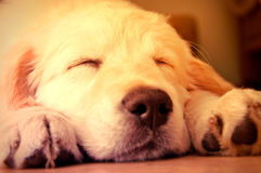 Cute golden retrieve. Stock Image