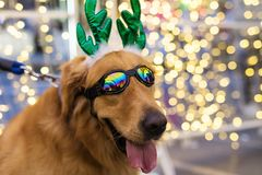 cute golden retriever with bokeh background royalty free stock photo