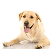 A cute golden retriever dog. Isolated on a white studio background Stock Photography
