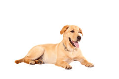Cute golden retriever dog Stock Photography
