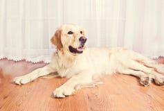 Cute golden retriever dog. Royalty Free Stock Photo