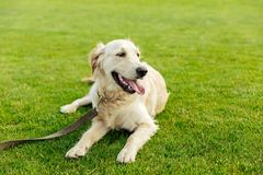 Cute golden retriever dog lying on green grass. In park Royalty Free Stock Image