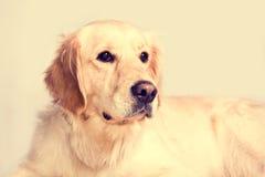 Cute golden retriever dog. Stock Images