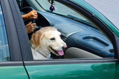 Cute golden retriever dog riding in a car while sitting like a h Stock Photos