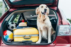 cute golden retriever dog sitting in car trunk with luggage stock image