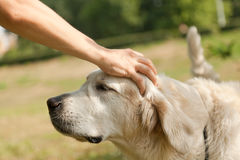 Cute golden retriever and the hand of man Royalty Free Stock Image