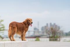 Free Cute Golden Retriever In The Park Stock Photos - 215289973
