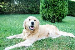 Cute golden retriever laying on the ground on a hot summer day Stock Images