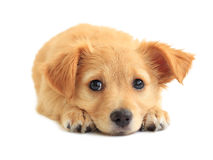 Cute golden retriever mixed-breed puppy. Isolated on white Royalty Free Stock Image