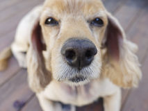 Cute golden retriever-Old dog Royalty Free Stock Photos