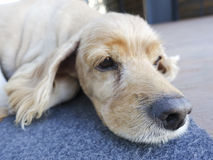 Cute golden retriever-Old dog Stock Photo