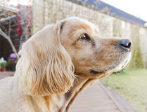 Cute golden retriever-Old dog Stock Photography